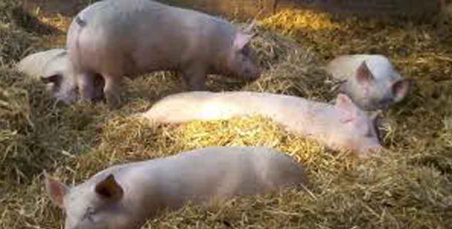 Cochons élévés sur paille. Nourris avec des graines de lin